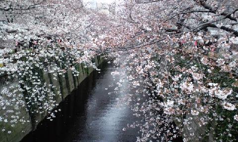 目黒川桜1S