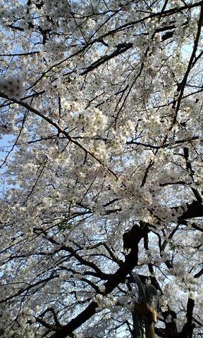 千鳥が淵一面桜S