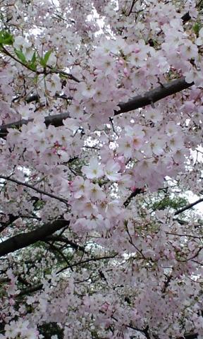 国立劇場桜S