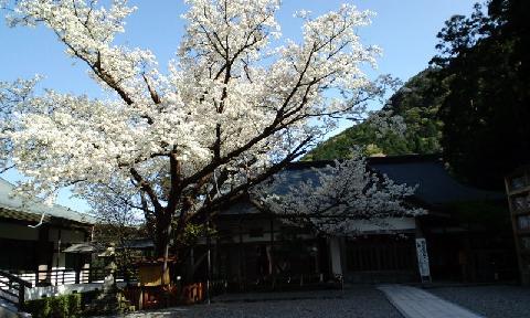 なごりの桜S