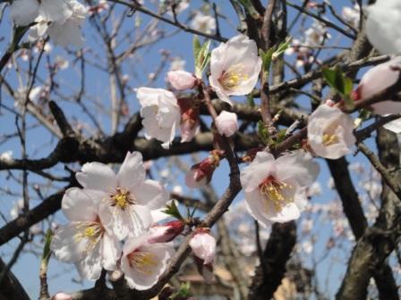 almondの花