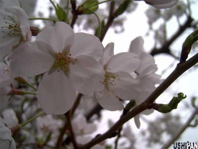 お花見写真
