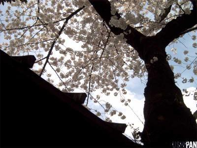 お花見写真靖国神社2