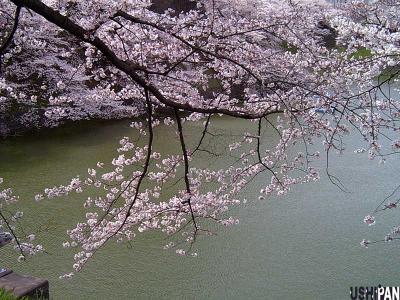 お花見写真千鳥が渕2
