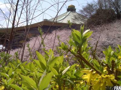 お花見写真千鳥が渕3