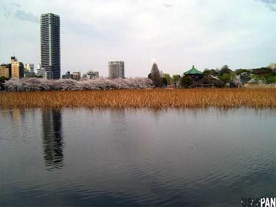 お花見写真上野公園1