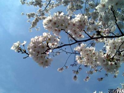 お花見写真上野公園2