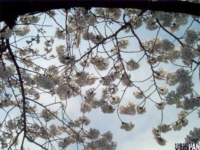 お花見写真上野公園3