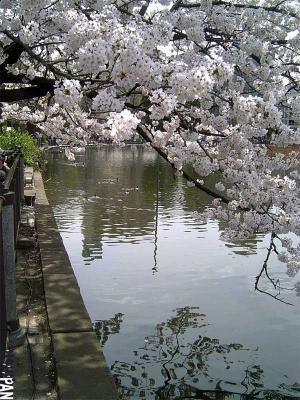 お花見写真上野公園4