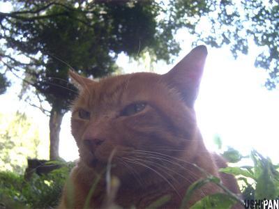 茶トラ善福寺猫3