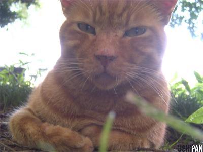 茶トラ善福寺猫4