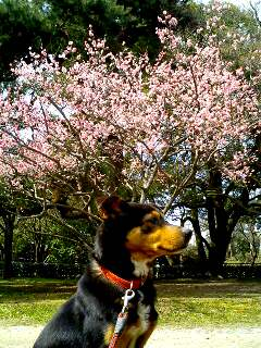 桃の花とポチ