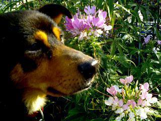 西洋風蝶草とポチ