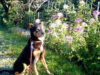 花魁草とポチ