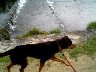 鴨川を疾走するポチ