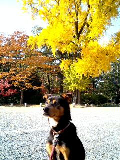 京都御所 銀杏の前で