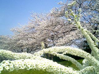 桜と雪柳①