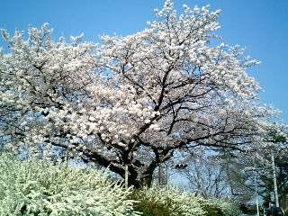 桜と雪柳②