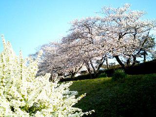 桜と雪柳③