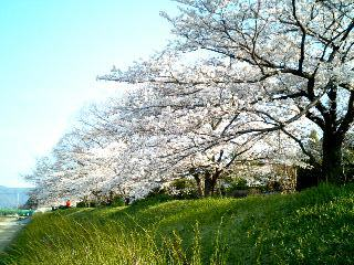 土手の桜①