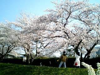 桜の散歩道①