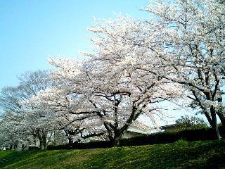 桜の散歩道②