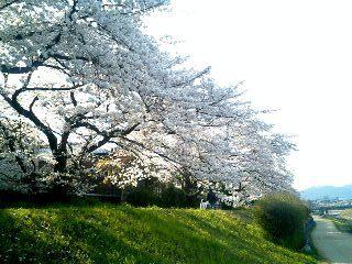 桜の散歩道③
