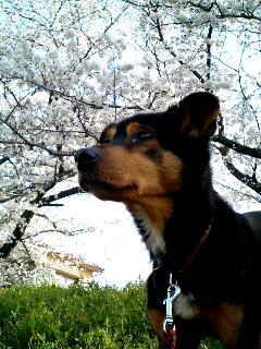 桜とポチ②