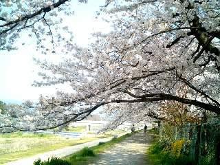 桜のトンネル③