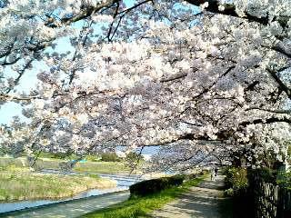 桜のトンネル⑥