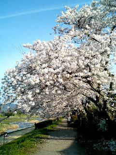 桜のトンネル⑧