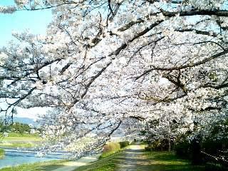 桜のトンネル⑨