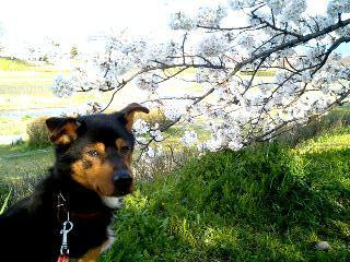 桜とポチ③