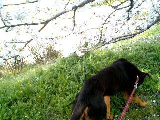 桜の下を歩くポチ