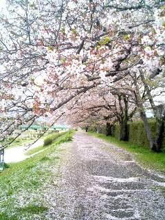 桜のトンネル⑩