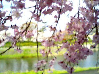 鴨川 しだれ桜②