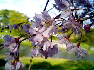 鴨川 しだれ桜③