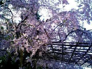 鴨川 しだれ桜④