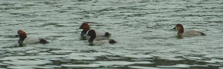 hybrid-with-pochards
