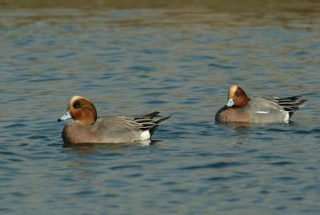 wigeon-int