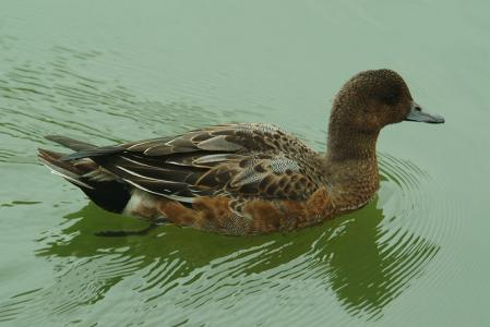 wigeon-right