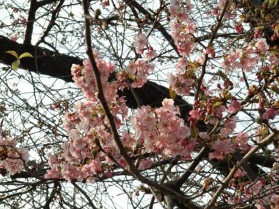 河津桜まつり6
