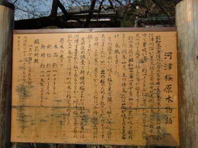 河津桜まつり7
