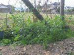 My庭の花 038-blog