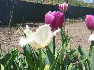 フリンジ咲き・紫の縁取りがウツクシイ~