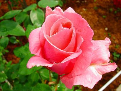 バラの王道の姿形