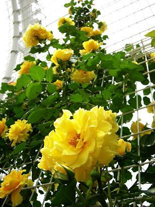 つるバラ(黄)