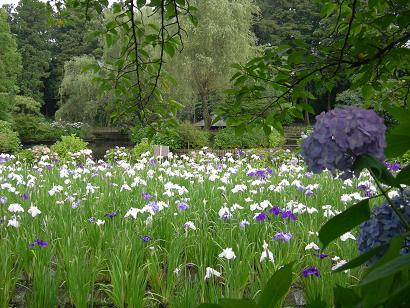 菖蒲とアジサイ&鴨の棲む池