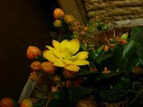 八重咲きカランコエ