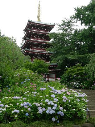 千葉のアジサイ寺